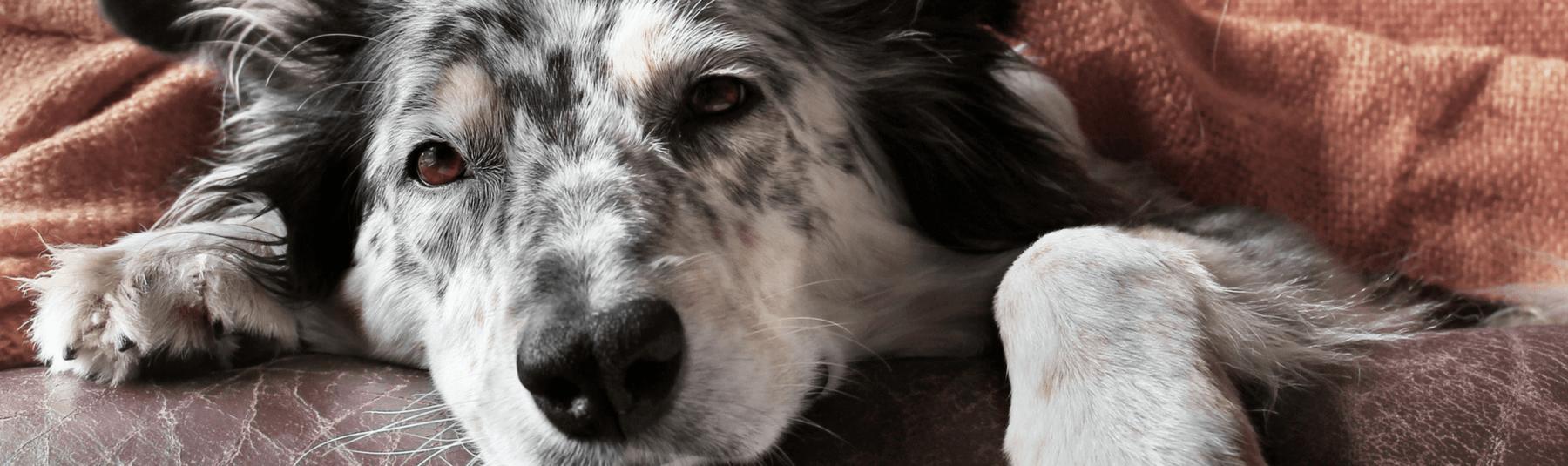 dog-chemo-service