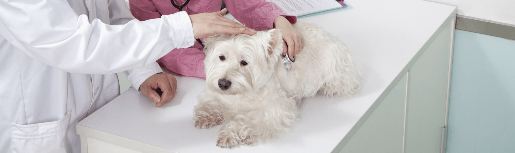 A white Scottish terrier examined by a vet