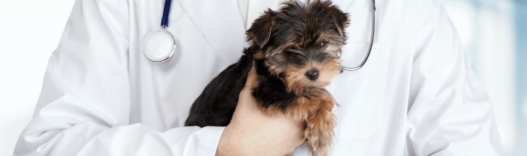 A small Yorkshire Terrier puppy is held by a vet