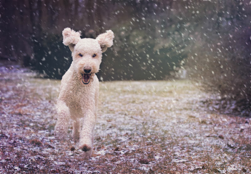 Light Snow Dog